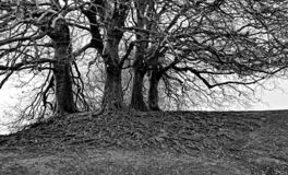 Winter trees with wide roots Avebury royalty free stock images