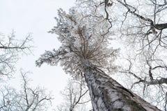Winter Treetops bedeckt mit Schnee Stockfotos