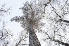 Winter treetops Royalty Free Stock Photos