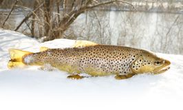 Winter trout Royalty Free Stock Image