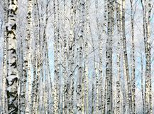 Winter trunks of birch trees Stock Image