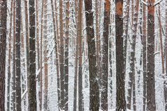 Winter trunks of trees. Royalty Free Stock Photos