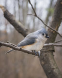 Winter Tufted Titmouse Stock Photos