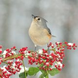 Winter Tufted Titmouse (Baeolophus bicolor) Stock Photos