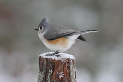 Winter Tufted Titmouse Stock Photography