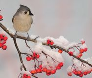 Winter Tufted Titmouse (Baeolophus bicolor) Stock Photo