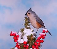 Winter Tufted Titmouse Royalty Free Stock Images
