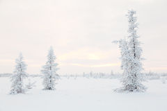 Larches in snow, the Yamal tundra Stock Photography