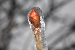 Winter twig with bud. Frozen twig with bud stock images