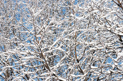 Winter twigs. Winter snow covered tree twigs on blue sky background (winter natural background Royalty Free Stock Photo