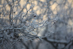 Winter twigs and grass covered with frost and snow Royalty Free Stock Photos