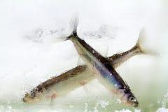 Smelt in the winter under ice (Osmerus eperlanus) Stock Photos