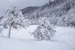 Winter uninhabited snow-covered   forest. A walk in the reserve Kyiv region, Ukraine Stock Photography
