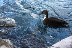Winter urban lake. Winter lake city birds nature ecology water frost Royalty Free Stock Photo