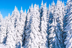 Winter vacation background with pine trees covered by heavy snow Royalty Free Stock Images