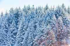 Winter vacation background texture with pine trees covered by heavy snow Royalty Free Stock Photos