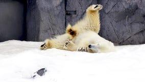 Winter van de de pool de dierlijke sneeuw van het Polarbearnoorden Stock Foto