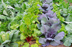 Winter Vegetable Garden. Winter vegetables growing in a garden including Broccoli, Rhubarb, Cabbage and Red Cabbage stock photos