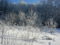 Winter vegetation, bushes and trees covered with hoarfrost and snow Royalty Free Stock Photos