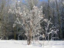 Winter vegetation, bushes and trees covered with hoarfrost and snow, ice feather Stock Photo