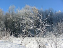 Winter vegetation on sun, bushes and trees covered with hoarfrost and ice Stock Photo