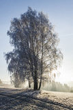 Winter view of birch tree covered with frost Stock Photography