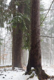 Winter view of natural forest with dead spruce tree in mist Stock Photography