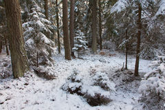 Winter view of natural forest with pine and spruces Stock Photo