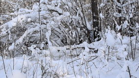 Winter View of trees covered with snow. The severity of the branches under the snow. Winter wonderland stock footage