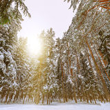 Winter view of the trees Royalty Free Stock Photography