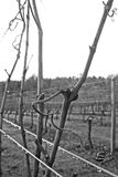Winter Vines. Naked grape vines on a cold winter day Royalty Free Stock Photography