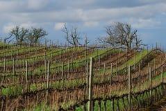 Winter vines. Vine winter landscape in Constantia area, Cape Town Stock Photography