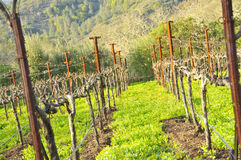 Winter Vineyard Royalty Free Stock Photography