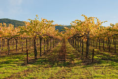 Winter Vineyard. This low level shot of a vineyard was taken in Sonoma, California Royalty Free Stock Photography