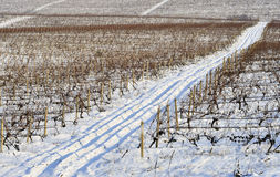 Winter vineyard Stock Image
