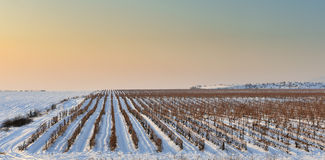 Winter vineyard Royalty Free Stock Photo