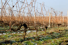 Winter Vineyard Royalty Free Stock Image