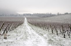 Winter in vineyard. Vineyard covered with snow, England Stock Photo