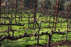Winter Vineyard 2. Vineyard during Winter Season in Napa Valley, California Royalty Free Stock Photos