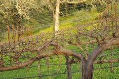 Winter Vineyard 3. Vineyard in Wintertime with dormant Grape Vines Royalty Free Stock Image