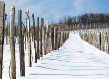 Winter vineyard royalty free stock images