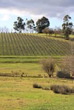 Winter at the Vineyard, Australia Royalty Free Stock Images