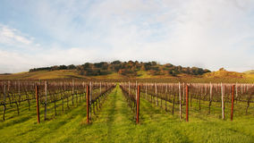 Winter Vineyard Awaiting Springtime
