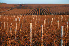 Winter vineyard with reddish brunches at sunset. Winter vineyard with reddish brunches and wooden pillars at sunset Stock Image