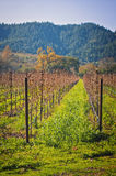 Winter Vineyard, Wine Country California Royalty Free Stock Image