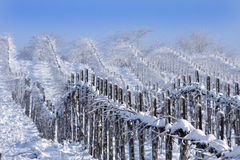 Winter vineyards Stock Image
