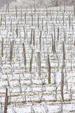 Winter vineyards Stock Image
