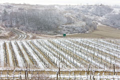 Winter vineyards Royalty Free Stock Images