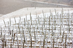 Winter vineyards Stock Photos