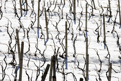 Winter vineyards Royalty Free Stock Photo